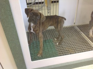 Photo of emaciated boxer pup at Shakopee Petland