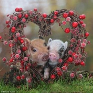 Pigs and heart