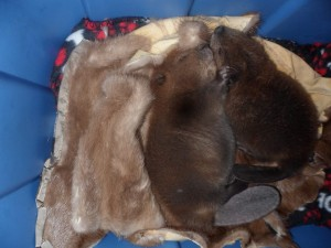 Baby beavers with their Cuddle Coats